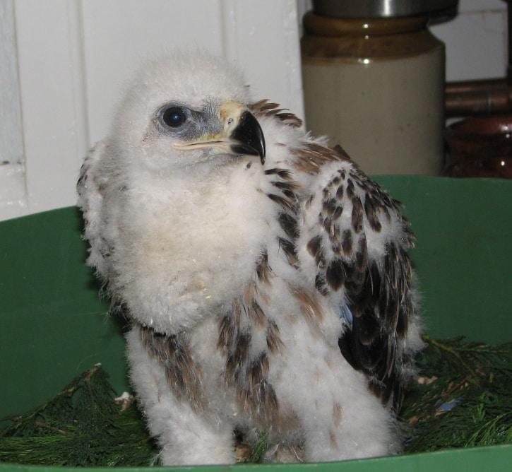 Tawny Eagle M 06 06