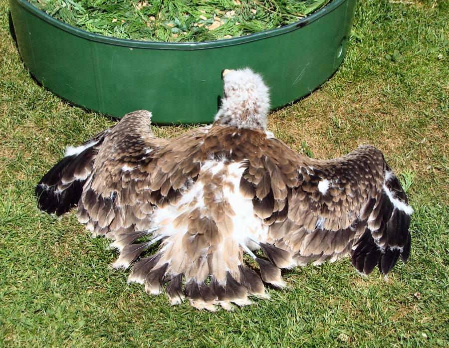 Tawny Eagle M 14 06 A