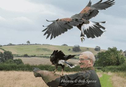 Harris hawks birds of prey experience day