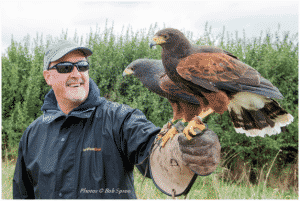 Harris hawks on visitors fist on a falconry experience day at Bird on the Hand