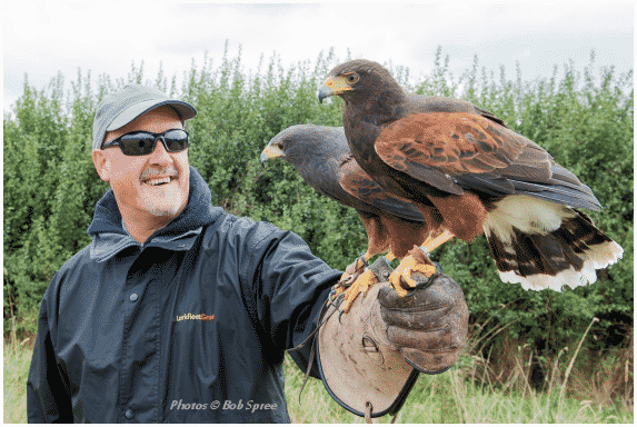 Harris hawks, Dolly and Biggles, on a visitor's fist during a bird of prey experience day.