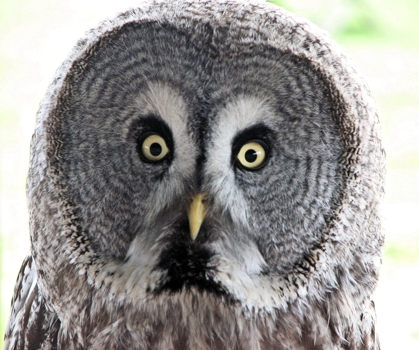 Darwin, our Great Grey Owl. One of the favourits on the Owl Experience