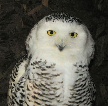 snowy owl M